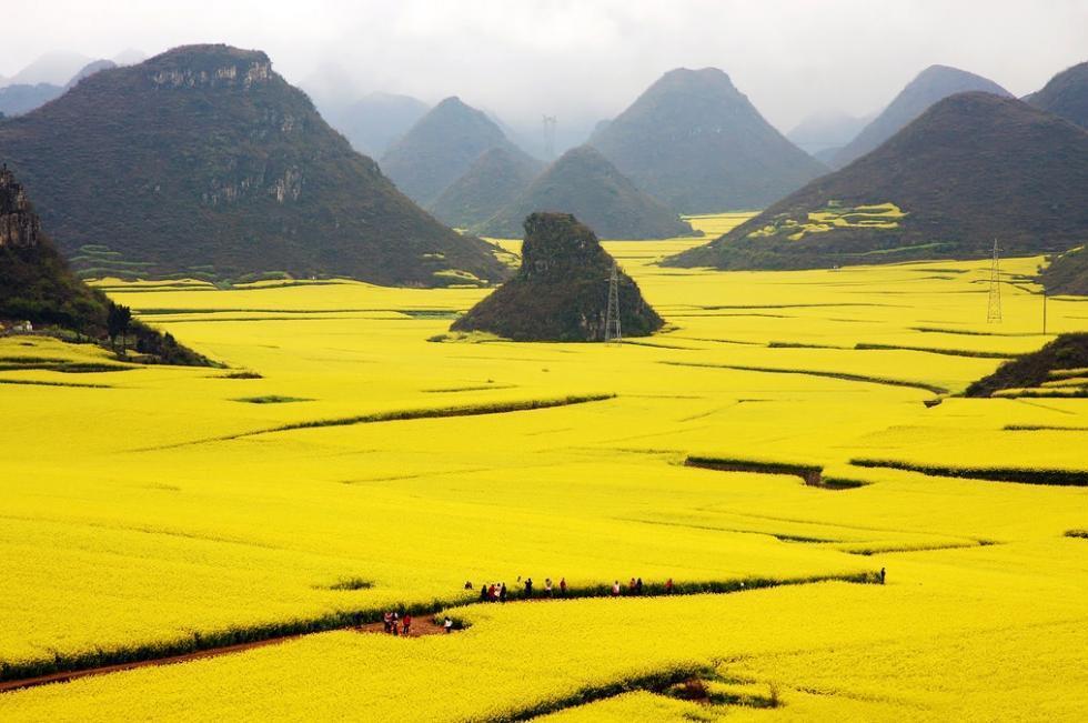 مزارع طلایی کلزا در چین
