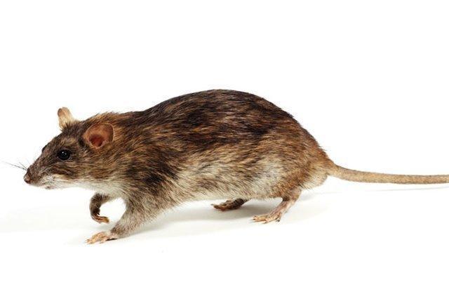 کشف سلول های مغزی در موش که مطابق حالات بدن تنظیم می شوند