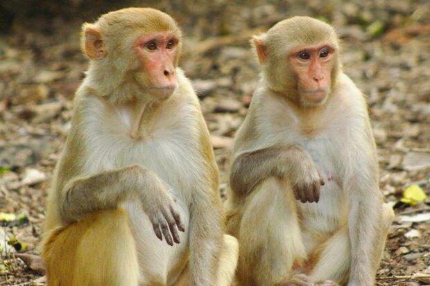 محققان چینی ابر میمون ساختند