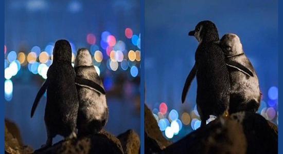 عاشقانه ای از پنگوئن ها