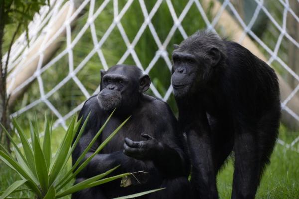 جهش یک باکتری در شامپانزه ها، احتمال سرایت به انسان
