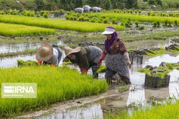خبرنگاران افزایش 4 برابری فراوری بذرهای الیت و سوپر الیت برنج در کشور
